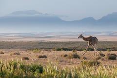 站立反对多山哼声的长颈鹿 免版税库存图片