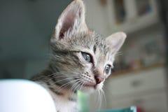 站立可爱的滑稽的逗人喜爱的小猫猫的面孔看好奇地 免版税库存图片