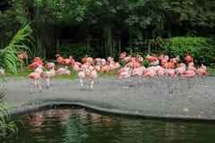 站立和休息在水附近的桃红色火鸟群在动物园 免版税库存图片