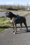 站立和佩带鞔具的拳击手狗 库存图片