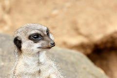 站立和凝视在距离的Meerkat 免版税库存照片