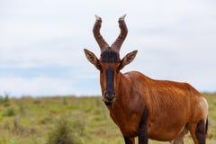 站立和嚼在草的Kudu 库存照片