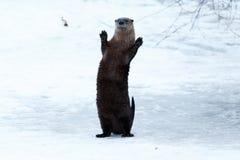 站立和挥动在冰的河中水獭 图库摄影
