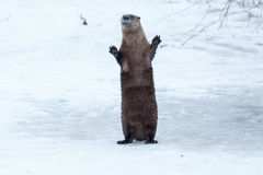 站立和挥动在冰的河中水獭 免版税库存照片