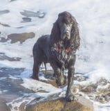 站立和摆在浅水区的黑西班牙猎狗狗 免版税图库摄影