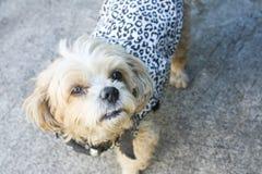 站立和看所有者的一条逗人喜爱的狗 免版税库存图片