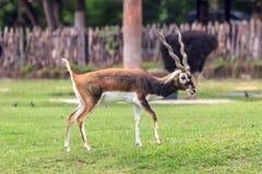 站立和看某事的Blackbuck或鹿 免版税库存图片