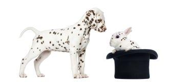 站立和看的达尔马希亚小狗被察觉 图库摄影