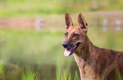 站立和看非常好奇地在公园的狗有好的软的绿色背景 库存照片