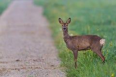 站立和等待在道路的獐鹿 免版税库存图片