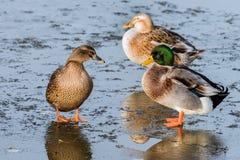 站立在一个冻池塘的三只鸭子 免版税库存照片