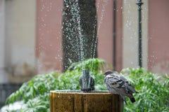 站立在一个喷泉的鸽子在公园 免版税库存照片