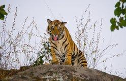 站立在一个大岩石的野生孟加拉老虎在密林 印度 17 2010年bandhavgarh bandhavgarth地区大象印度madhya行军国家公园pradesh乘驾umaria 中央邦 免版税库存图片