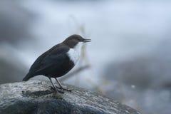 站立在一个小岩石的浸染工,在河岸,在冬天季节期间,孚日省,法国 库存照片