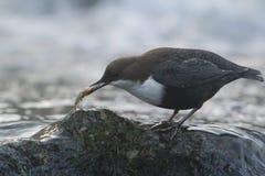 站立在一个小岩石的浸染工,在河岸,在冬天季节期间,孚日省,法国 库存图片