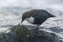 站立在一个小岩石的浸染工,在河岸,在冬天季节期间,孚日省,法郎 库存照片