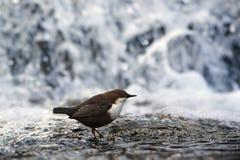 站立在一个小岩石的浸染工,在河岸 免版税库存照片