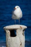 站立在一个小烟囱的海鸥 免版税库存图片