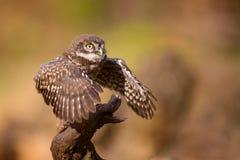 站立在一个忠心于的一只幼小小猫头鹰翼传播 免版税库存照片