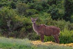 站立在一个摆在的位置的女性kudu 免版税库存照片