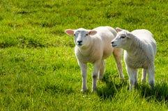 站立在一个新鲜的草甸的两只小的羊羔 库存照片