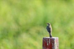 站立在一个木块的鹅口疮鸟 库存照片