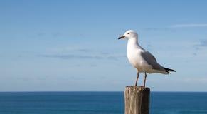 站立在一个木岗位的海鸥 库存照片