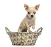站立在一个柳条筐的奇瓦瓦狗小狗 库存照片