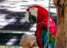 站立在一个树枝的金刚鹦鹉在鸟舍 免版税图库摄影