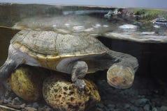 站立在一个水族馆的水下在几块石头和看与远离本身的吃惊的眼睛的乌龟 库存照片