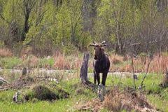 站立在一个沼泽的区域的一个幼小公牛麋 图库摄影