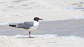 站立在一个海滩的一只海鸥用水 库存图片