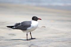站立在一个海滩的笑的鸥在佛罗里达 库存图片