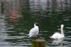 站立在一个湖的一根木杆的一只逗人喜爱的滑稽的海鸟或鸥有在背景的迷离无知的天鹅的 库存照片