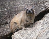 站立在一个灰色岩石的一只岩石非洲蹄兔特写镜头  库存照片