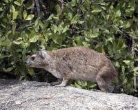 站立在一个灰色岩石的一只岩石非洲蹄兔特写镜头sideview  免版税库存图片