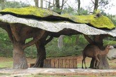 站立在一个特别形状的棚子下的骆驼 免版税库存照片
