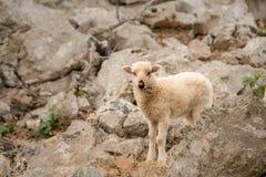 站立在一个石牧场地的幼小羊羔在克罗地亚 免版税库存照片