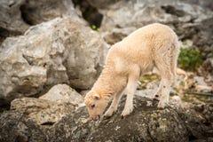 站立在一个石牧场地的幼小羊羔在克罗地亚 免版税图库摄影