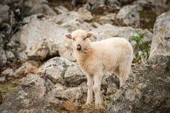 站立在一个石牧场地的幼小羊羔在克罗地亚 免版税库存图片
