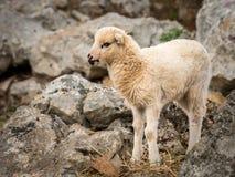 站立在一个石牧场地的幼小羊羔在克罗地亚 库存图片