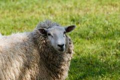 站立在一个绿色牧场地的绵羊 免版税库存照片