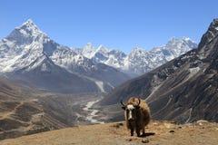 站立在一个遥远的山区的牦牛在尼泊尔 免版税库存图片