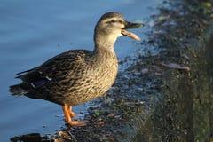 站立在一个陡峭的支持的测流堰边缘的Quacking女性野鸭鸭子语录platyrhynchos 免版税库存图片