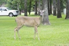 站立在一个围场的南部的白尾母鹿鹿 免版税库存照片