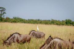 站立在一匹蓝色角马的牛背鹭 免版税库存图片