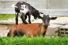 站立在一只成熟公羊背面的幼小山羊 库存照片