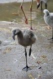 站立在一只脚的逗人喜爱的火鸟幼鸟 免版税库存照片
