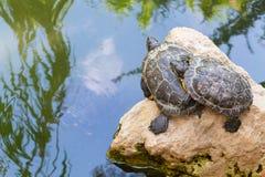 站立在一块石头的乌龟在水中 免版税图库摄影