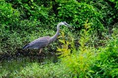 站立在一条小小河的一个伟大蓝色的苍鹭的巢等待触击一条不幸的鱼 库存照片